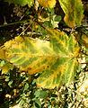 Acer pseudoplatanus (12).JPG