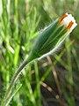 Achyrachaena mollis 001.jpg
