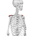 Acromion of scapula02.png
