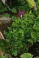 Adiantum capillus-veneris, Conservatoire botanique national de Brest 04.jpg