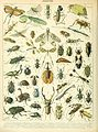Adolphe Millot insectes A.jpg