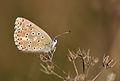 Adonis Blue - Polyommatus bellargus.jpg