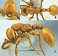 Aenictus brevipodus holotype.jpg