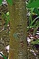 Aesculus indica 01.jpg