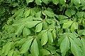 Aesculus parviflora kz04.jpg