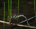 Aeshna Juncea laying eggs 1.png