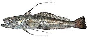 Nototheniidae - Aethotaxis mitopteryx