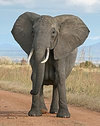 African Bush Elephant-crop