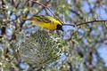 African Masked Weaver making nest - Sossusvlei - Namibia 0042 (22458353269).jpg