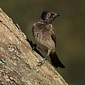 African Red-eyed Bulbul or Black-fronted Bulbul (36874831002).jpg