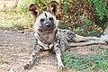 African wild dog Feb09 02.jpg