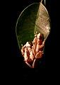 Afrixalus dorsalis pair.jpg