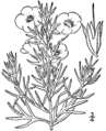 Agalinis densiflora drawing.png