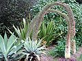 Agave attenuata flowering.jpg