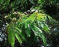 Albizia adiantifolia 12102003 2 Afrique du sud.JPG