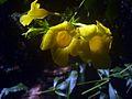 Allamanda cathartica flowers 10.JPG