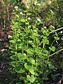 Alliaria petiolata Czosnaczek pospolity 2020-04-19 01.jpg