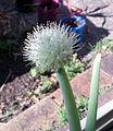 Allium ascalonicum flower Brisbane.jpg