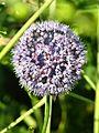 Allium caeruleum 01.jpg
