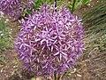 Allium giganteum HRM2.JPG