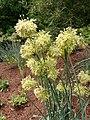 Allium obliquum 2020-06-23 0635.jpg