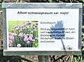 Allium schoenoprasum var. major.jpg