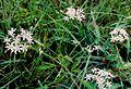 Allium speculae.jpg