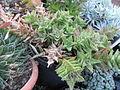 Aloe (6468507175).jpg