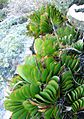 Aloe haemanthifolia of Western Cape mountaintops South Africa 8.JPG