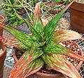 Aloe somaliensis 1.jpg