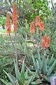 Aloe vera Bitter Aloe ნამდვილი ალოე.JPG