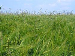Alopecurus myosuroides in Barley1.jpg
