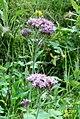 Alpine flora (Mit) (37848229436).jpg