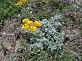 Alyssum alpestre Riffelberg.jpg
