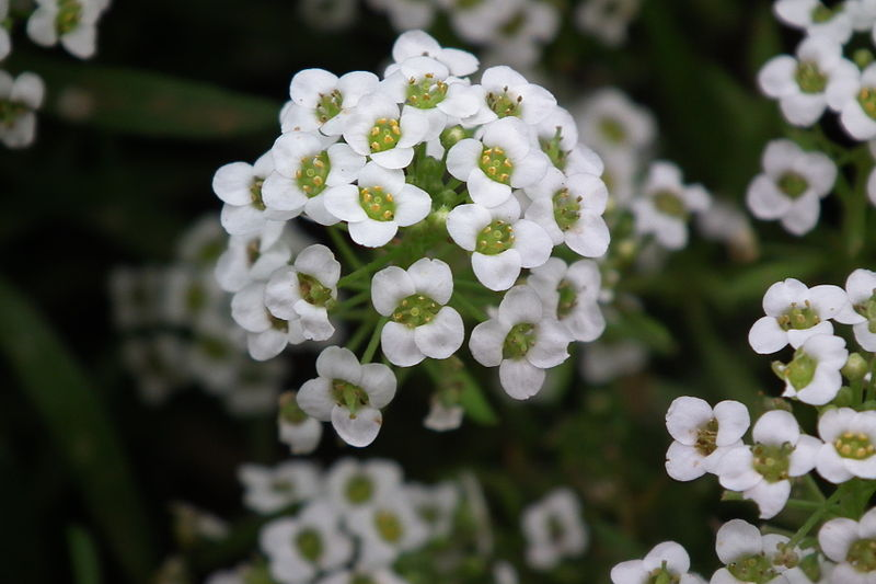 File:Alyssum white color at lalbagh7326.JPG
