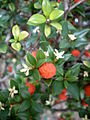 Alyxia ruscifolia 2c.JPG