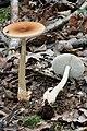 Amanita fulva 060820w.jpg