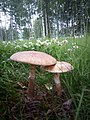 Amanita rubescens gljiva 1 (6).jpg
