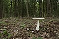 Amanita virgineoides 06.jpg