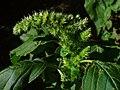 Amaranthus hybridus 02.JPG