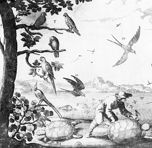 Lesser Antillean macaw - Du Tertre's 1667 illustration showing three Guadeloupe amazons (8) and one Lesser Antillean macaw (7) on a tree at the left