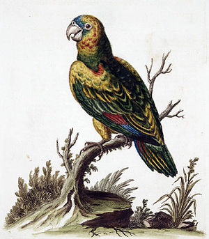 Yellow-shouldered amazon - Possible extinct subspecies from Aruba, A. b. canifrons