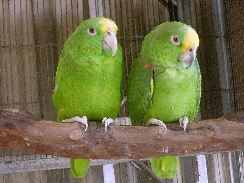 File:Amazona ochrocephala panamensis -captive-8a.jpg
