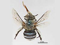 Amegilla chlorocyanea female.jpg