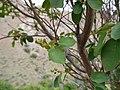 Amelanchier-alnifolia-var-cusickii-unripe-fruit 8795424698 o 2.jpg