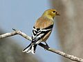 American Goldfinch male RWD.jpg