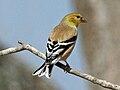 American Goldfinch male RWD.jpg