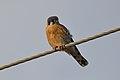 American Kestrel (Falco sparverius) (16522339832).jpg