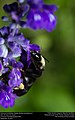 American bumblebee (Apidae, Bombus pensylvanicus) (29595881394).jpg