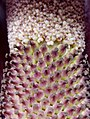Amorphophallus konjac flower structure.jpg